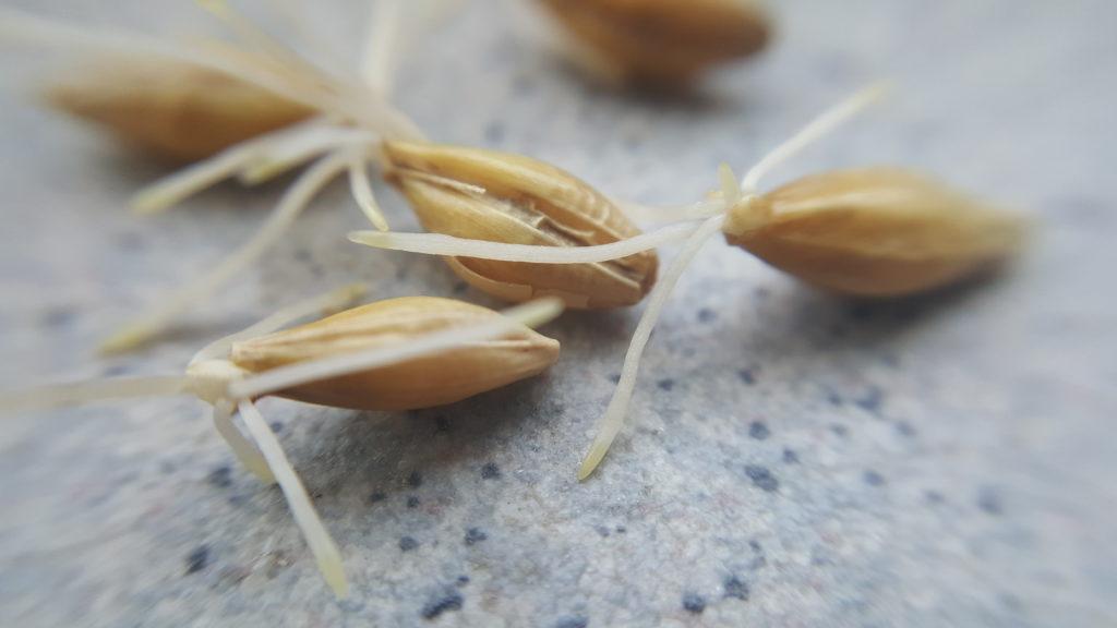 Malting - grains during germination